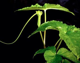 5 Green Dragon, dragon root bulbs (Arisaema dracontium)
