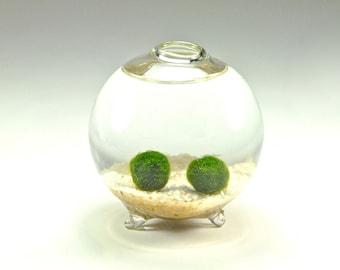 SALE!! Marimo Moss Ball Couple in Handblown Glass Globe - Underwater Moss Terrarium, Unique Gift Idea for Men and Women, Anniversary Gift