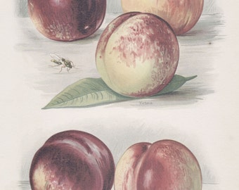 "Custom Matted Antique Fruit Print Nectarines Botanical Vintage Kitchen Decor Matted 11 X 14"" c.1891"