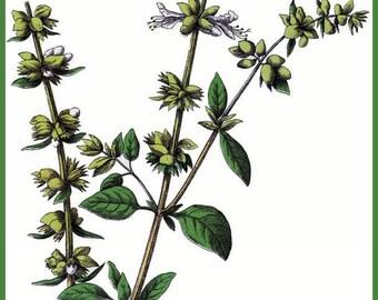 Art Print Kitchen Art Basil Herb Victorian 1800s