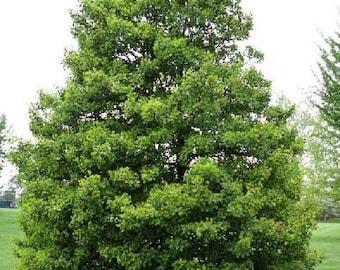50 American Holly Tree Seeds, Ilex opaca