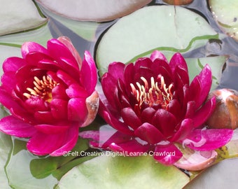 Water lilies Flower Photography - Flower Wall Art *SUPPLIED WITHOUT FRAME*