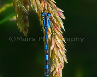 Nursery Decor, Neon Blue Black Stripes Damselfly Bug, Insect Photography, Fine Art Photography matted & signed 5x7 Original Photograph