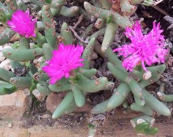 Namaquanthus Vanheerdii ~ Exotic Succulent ~ Pink Flowers ~ Very Rare 5 Seeds ~
