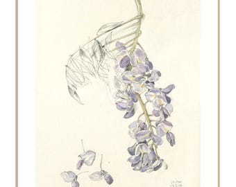Wisteria blossom PRINT - Wisteria watercolor and pencil drawing - modern botanical drawing - floral print -  wisteria wall art by Catalina