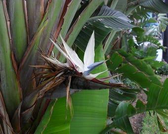 Bird paradise plant etsy giant white bird of paradise 1 plants 1 to 2 feet tall ship mightylinksfo