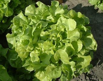 Lettuce Oak Leaf 100+ seeds - heirloom seeds - vegetable seeds - garden seeds - lettuce seeds - oak leaf lettuce seeds - mesculin mix seeds