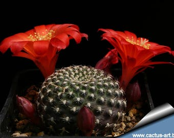 Rebutia krainziana / 10 seeds (Krainz' Crown Cactus)