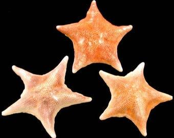 Bat Patiria Starfish  (EA)