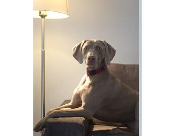 Weimaraner Dog on a Settee, Lit by a Standard Lamp