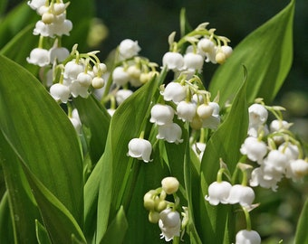 Lily of the Valley - Sweetly Fragrant - 12 pips