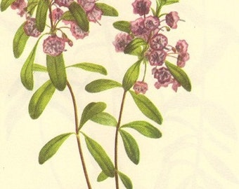 Vintage 1968 VIOLET Color Print Wild Flowers of America Book PLATE 263 264 Lambkill and Bog Laurel Pink Flowers Plant