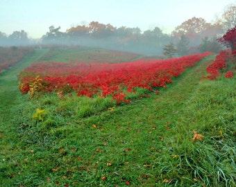 Red Fog Field of Sumac, Fog Landscape, Sumac Photo, Red Decor, Green Decor, Fall Decor, Autumn Landscape, Green Hilly Landscape, Red Fog