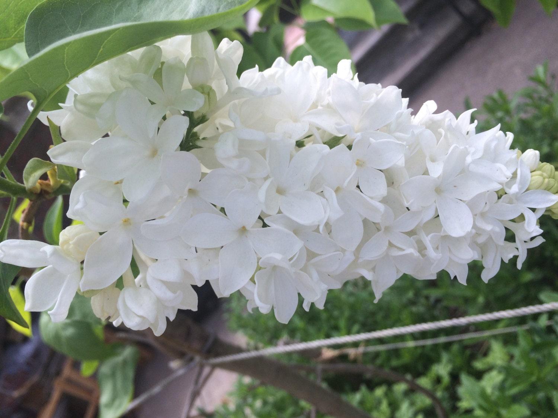 White Big Lilac Cutting Plant 1 Cutting Plants Giant White Lilac