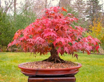 Bonsai Seeds Japanese Red Maple Tree, Grow Your Own Tree, Office Decor, 5 Seeds