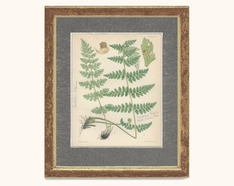 Brittle Bladder Fern, Reproduction Antique Botanical Fern Print 10, 1851, British Natural History, Fitch, Hand Colored (coloured)