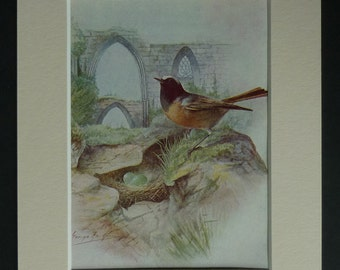1950s Vintage Redstart Print, Bird Decor, Available Framed, Ruins Art, Ornithology Picture, Church Wall Art, Old Natural History Gift Nature