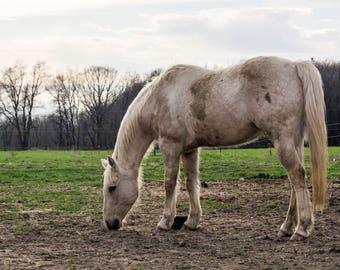 Tucker the Horse-Grazing Photo, Horse Photography, Fine Art Print, Farmhouse Decor, Horse Photograph, Wall Decor, Home Decor, Farm Life