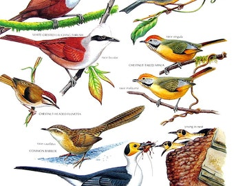 bler, Vintage Bird Print - White Crested Laughing Thrush, Chestnut Tailed Minla, Common Babbler, Rockfowl - 1990 Vintage Book Page - 11 x 9