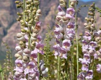 500 PALE BEARDTONGUE Penstemon Pallidus Flower Seeds