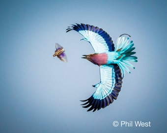 Lilac Breasted Roller and Grasshopper 2, Photo Print or Canvas 8x10, 12 x 18, 16 x 24, 24 x 36, 32 x 48