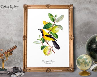 Birds Room Decor, Parrot Bird Print, Exotic Bird Prints, Troupial Bird, Yellow Bird Print, Black Bird Poster, Parrot Wall Hanging - E16g33