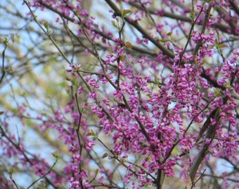 Red Bud Tree, Red Bud Photo, Spring Blooms, Nature Photos, Home Decor, Flower Photos