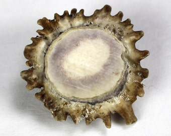 "custom for Sarah 3ct DRILLED  1.5""-2.5"" Antler Burrs Burls Button Real Deer Tine base bottom sections"