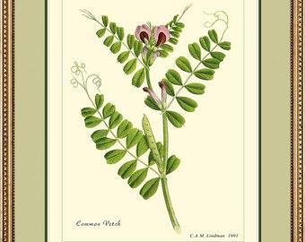 COMMON VETCH - Vintage Botanical print reproduction 320