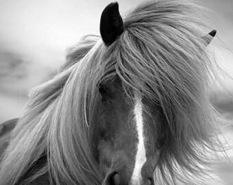 Horse photo, black and white photography, equine art, fine art print, animal photo, 'icelandic horse' 18x12
