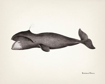 Bowhead Whale engraving - SC-13 Fine art print of a vintage natural history antique illustration