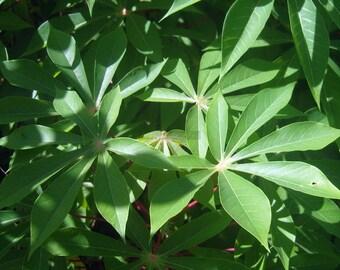 Tapioca Manihot Esculenta Cassava (6 inch) 3 Stem Cuttings for Growing
