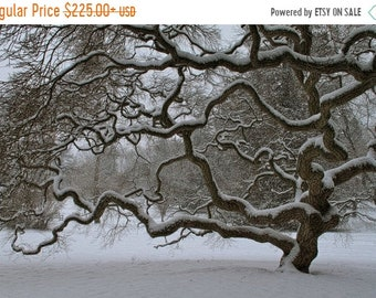 SALE 20% Off Gallery Wrap, Japanese Maple Tree in Winter, Landscape Photograph, Old Tree in Snow, Nature, Tree of Life, Wall Art, Zen, Black