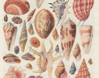 Antique Print, 1920s SHELLS Chart 1177 beautiful wall art vintage color lithographs illustration shells ocean sea