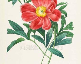 Peony Flower Art Print, Botanical Art Print, Flower Wall Art, Flower Print, Floral Print, Redoute Art, red, green, Paeonia officinalis Mas
