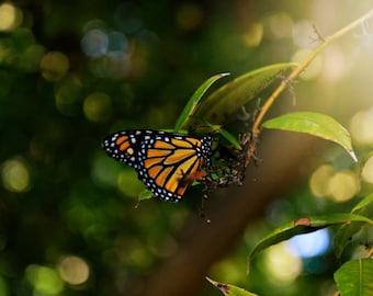 Butterfly 11x14 Print