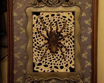Bartholomew - Elegant Taxidermied Tarantula Mount