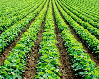 Soybeans Row Abstract View, Farmland of Southern Lancaster County in Pennsylvania, USA, Lush Green Plants