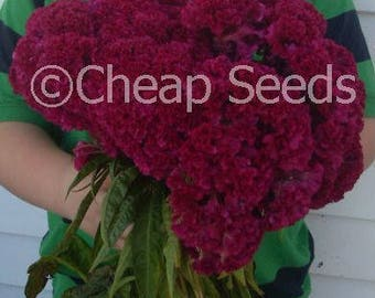 Cockscomb Seeds, Heirloom Flowers, Indiana Giant, Attracts Butterflies, Old Fashioned Favorite, 25 Seeds
