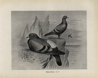 Antique Original Bird  Lithograph - Rock Dove - Black and White Print  dated 1890