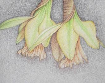 Pencil Art Work Muted Tone Daffodils Original Drawing-Print