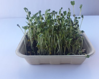 Organic Wheat Grass Sprout Seed Kit