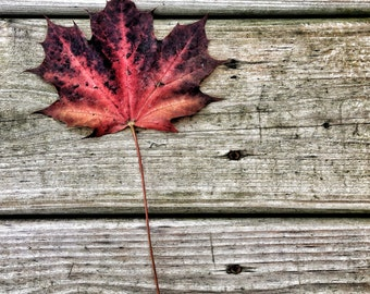 red leaf photograph, fallen leaf, autumn photo, autumn, fall leaf photo, maple leaf, red, wood, home decor, october, canada, leaf, canadian