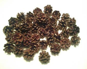 125 Small Scotch Pine Cones