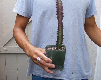 Euphorbia Trigona cv. 'Royal Red' Cactus
