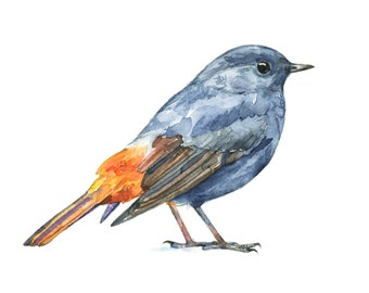 Plumbeous Water Redstart watercolor painting - bird watercolor painting - 5x7 inch print - 0020
