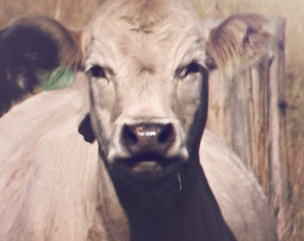 White Cow Animal Photography French Country  Archival Photo Fine Art Photo Gift Under 50 Gift for Cow Lover