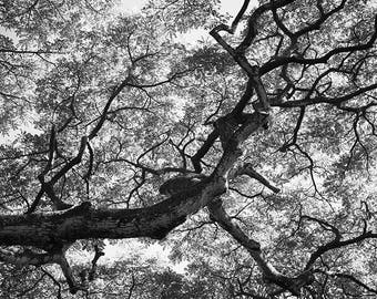 Forest art - Treehouse 3 - Nature Photo - Hawaii - Fine art photography - Mighty Oak - Black and White - 8x12, 24x36