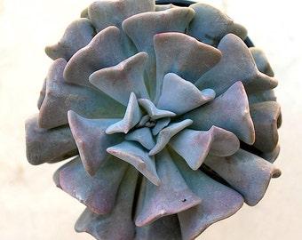 "Echeveria 'Cubic Frost' 3.5"" Pot"
