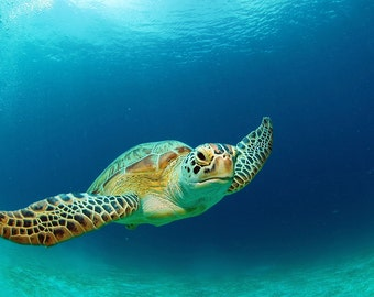 Sea Turtle (Art Prints available in multiple sizes)